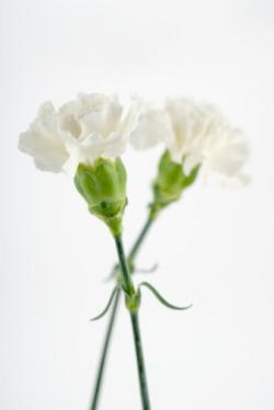 garofani bianchi