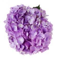 fiori ortensia