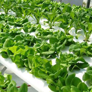 coltivazione fuori suolo per ortaggi