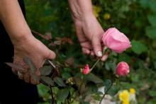 margotta e propaggini usate per le rose