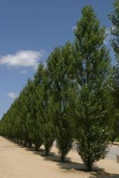 Fila di conifere