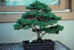 Conifere in giardino for Conifere da giardino