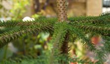 aghi e foglie conifere