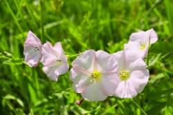 Fiori di Bella di giorno rosati