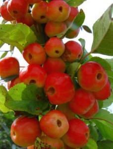 melo ornamentale 2