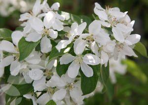fiori di melo ornamentale