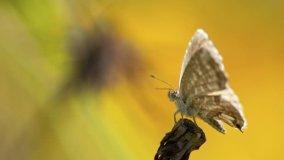 Farfalla del geranio come debellarla