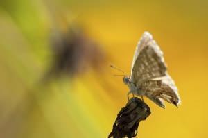 farfalla del geranio