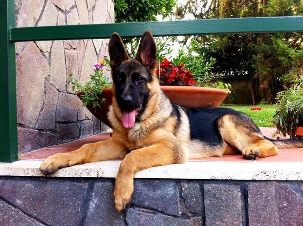 Dissuasori per cani: cane pastore tedesco