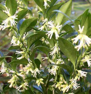 sarcococca in fiore