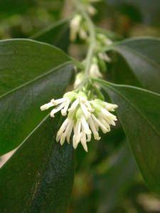 fiore di sarcococca