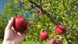 Coltivare un frutteto domestico
