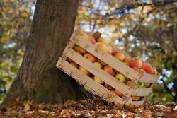 Cassetta di frutta su albero
