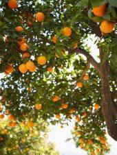 Albero di arance