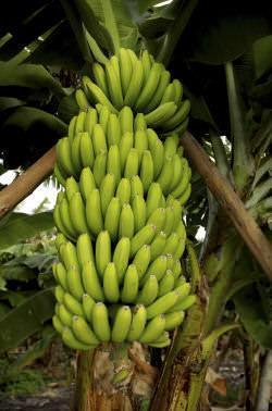 casco banane