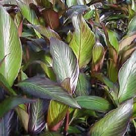 foglie banano