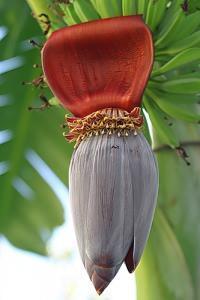 fiore banano