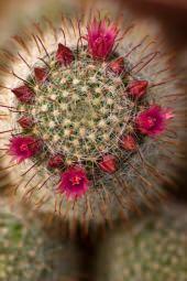 Bocciolo di Mammillaria
