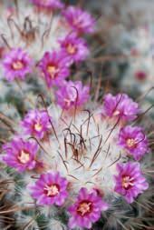 Areola e fioritura