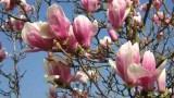Coltivazione della magnolia decidua in terra e in vaso
