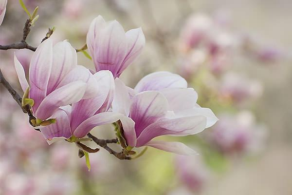 Magnolia Decidua fiore