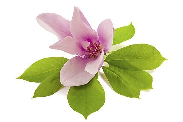 Particolare fiore di magnolia decidua