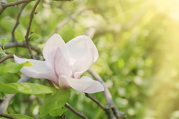 Magnolia Decidua particolare fiore