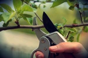 potare alberi da frutto