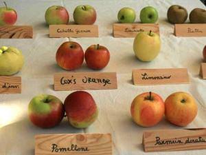 frutti antichi, maioli