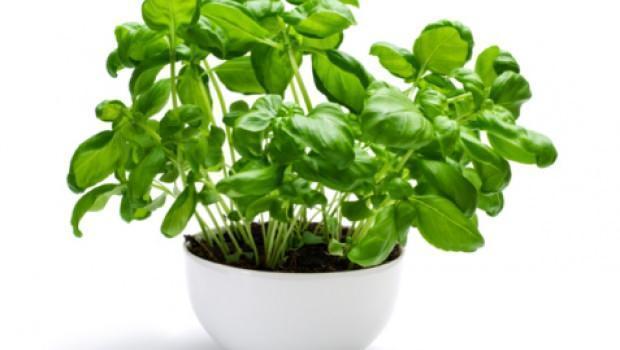 Coltivare il basilico for Coltivare il basilico