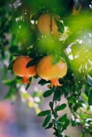 Frutti su albero di melograno