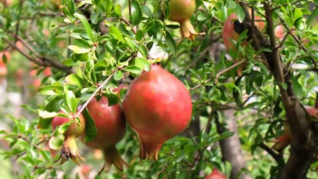 Melograno: frutti su albero