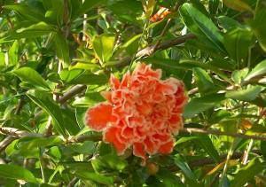 Punica Granatum Fiore di melograno