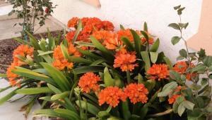 кливия киноварная. полезное растение для кухни.  Род Кливия (Clivia), принадлежащий к...