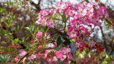 Coltivazione rosa Moschata