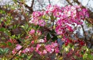 rosa moschata mozart