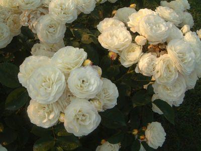 rosa Moschata, bouquet perfait
