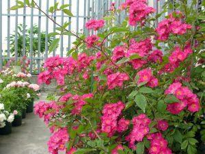 cespuglio rosa Moschata, cascina Bollate