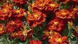 Tagetes nell'orto