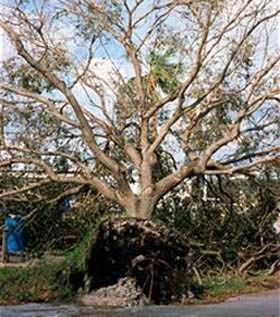 sradicamento di un albero con radici superficiali