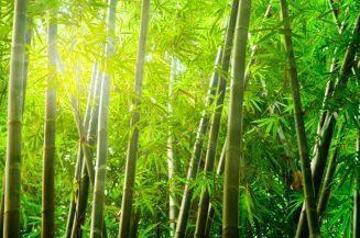 pianta di bambù