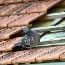 piccioni nei sottotetti