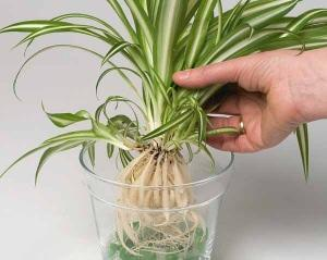 piante coltivate in idrocoltura