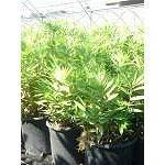 Bambu' vegetazione-nana pleioblstus